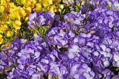 Χλωμιάστε - κίτρινο και μπλε λουλούδι Freesia Στοκ Φωτογραφίες