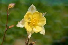 Χλωμιάστε - κίτρινο λουλούδι aquilegia Στοκ Εικόνες