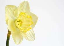 Χλωμιάστε - κίτρινο daffodil στοκ φωτογραφίες
