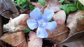 Χλωμιάστε - μπλε άνθιση Στοκ Εικόνες