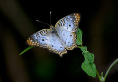 Χλωμιάστε - μπλε άσπρη πεταλούδα Peacock στοκ εικόνα