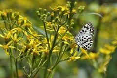 Χλωμιάστε - μπλε πεταλούδα φακίδων Στοκ Εικόνες