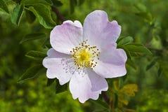 Χλωμιάστε - οι ρόδινες άγρια περιοχές λουλουδιών αυξήθηκαν Στοκ εικόνες με δικαίωμα ελεύθερης χρήσης