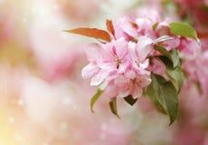 Χλωμιάστε - ρόδινα λουλούδια της Apple Στοκ φωτογραφίες με δικαίωμα ελεύθερης χρήσης