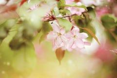 Χλωμιάστε - ρόδινα λουλούδια του δέντρου της Apple Στοκ φωτογραφία με δικαίωμα ελεύθερης χρήσης