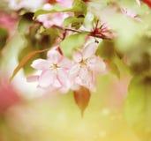 Χλωμιάστε - ρόδινα λουλούδια του δέντρου της Apple Στοκ Εικόνες