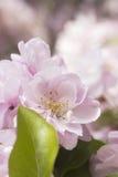 Χλωμιάστε - ρόδινο άνθος μήλων Στοκ Εικόνες