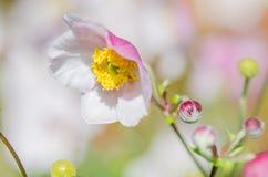Χλωμιάστε - ρόδινο ιαπωνικό anemone λουλουδιών, κινηματογράφηση σε πρώτο πλάνο Στοκ φωτογραφία με δικαίωμα ελεύθερης χρήσης