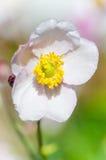 Χλωμιάστε - ρόδινο ιαπωνικό anemone λουλουδιών, κινηματογράφηση σε πρώτο πλάνο Στοκ Φωτογραφία