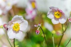 Χλωμιάστε - ρόδινο ιαπωνικό anemone λουλουδιών, κινηματογράφηση σε πρώτο πλάνο Στοκ Εικόνες