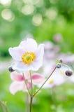 Χλωμιάστε - ρόδινο λουλούδι στον κήπο, κινηματογράφηση σε πρώτο πλάνο Στοκ Εικόνα
