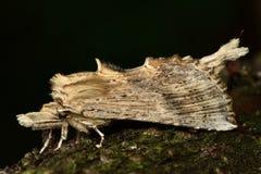 Χλωμός προεξέχων σκώρος (palpina Pterostoma) Στοκ εικόνες με δικαίωμα ελεύθερης χρήσης