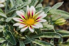 Χλωμό άσπρο και χρωματισμένο βιολέτα λουλούδι gazania τιγρών Στοκ φωτογραφία με δικαίωμα ελεύθερης χρήσης
