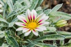 Χλωμό άσπρο και χρωματισμένο βιολέτα λουλούδι gazania τιγρών Στοκ Εικόνα