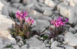 Χλωρίδα βουνών από τους δολομίτες - ΙΤΑΛΙΑ στοκ φωτογραφίες