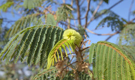 Χλωρίδα του distachya θλγραν θλθαναρηα - Albizia στοκ φωτογραφία
