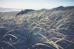 Χλόη αμμόλοφων που φυσά στο ωκεάνιο αεράκι Στοκ Εικόνα