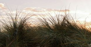 Χλόη αμμόλοφων Στοκ Εικόνα