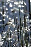 Χλόη βαμβακιού ελών ή angustifolium Eriophorum, Στοκ Εικόνες