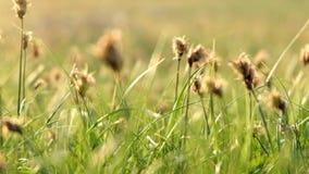 Χλόη ερήμων με τα ξηρά κεφάλια την άνοιξη φιλμ μικρού μήκους