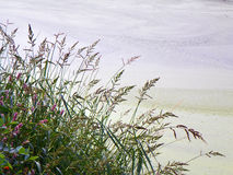 Χλόη ελών Wildflower κατά μήκος της ακτής Στοκ Εικόνα