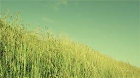Χλόη, λιβάδι, λιβάδι, αέρας, ουρανός, θερμός, ταλάντευση, πράσινη, καλοκαίρι, φύση, άχυρα, μίσχοι απόθεμα βίντεο