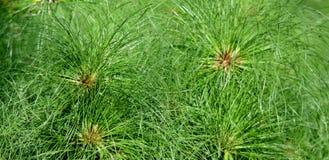 Χλόη παπύρων Cyperus Στοκ Φωτογραφίες