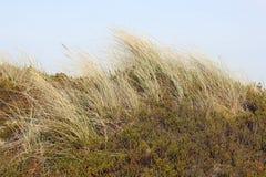Χλόη παραλιών στους αμμόλοφους Στοκ Εικόνα
