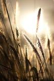 Χλόη πηγών ενάντια στο φως του ήλιου στον τομέα Στοκ φωτογραφία με δικαίωμα ελεύθερης χρήσης