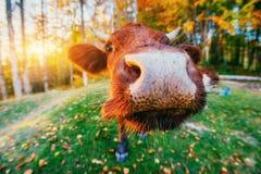 χλόη πράσινη Νορμανδία της Γαλλίας αγελάδων Στοκ Εικόνες