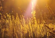 Χλόη σίτου ενάντια στον ήλιο ρύθμισης Στοκ φωτογραφία με δικαίωμα ελεύθερης χρήσης