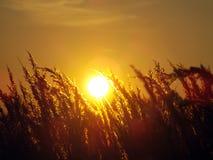 Χλόη σίτου ενάντια στον ήλιο ρύθμισης Στοκ Φωτογραφία