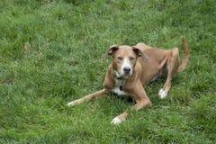 χλόη σκυλιών πράσινη Στοκ Φωτογραφίες