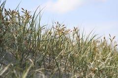 Χλόη στους αμμόλοφους άμμου Στοκ Εικόνες