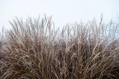 Χλόη φθινοπώρου/χειμώνα που καλύπτεται στην πάχνη ξημερωμάτων Στοκ εικόνες με δικαίωμα ελεύθερης χρήσης