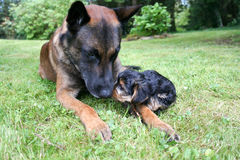 χλόη δύο σκυλιών Στοκ εικόνα με δικαίωμα ελεύθερης χρήσης