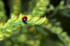 χλόη ladybug Στοκ Εικόνες