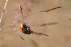 χλόη ladybug Στοκ φωτογραφίες με δικαίωμα ελεύθερης χρήσης