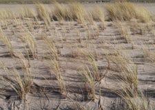 Χλόη Maram στους αμμόλοφους των Κάτω Χωρών Στοκ Εικόνες