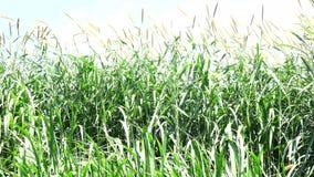 Χλόη Napier στις αγροτικές εγκαταστάσεις φιλμ μικρού μήκους
