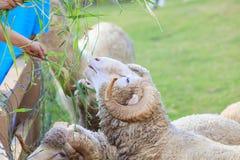 Χλόη ruzi σίτισης χεριών για τα μερινός πρόβατα στο αγρόκτημα Στοκ Εικόνες