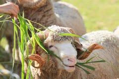Χλόη ruzi σίτισης χεριών για τα μερινός πρόβατα στο αγρόκτημα Στοκ εικόνα με δικαίωμα ελεύθερης χρήσης