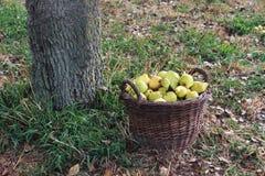 Ψάθινο καλάθι με τα αχλάδια εκτός από ένα δέντρο στοκ εικόνες με δικαίωμα ελεύθερης χρήσης