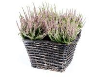 Ψάθινο καλάθι με τη δέσμη των λουλουδιών ερείκης Στοκ Εικόνα