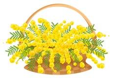 Ψάθινο καλάθι με το mimosa λουλουδιών Στοκ Εικόνες