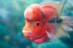 Ψάρια ¼ ŒPet parva ï Pseudorabora στοκ εικόνες