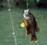 Ψάρια ήλιων Στοκ Εικόνες