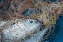 Ψάρια, δίχτυα του ψαρέματος Στοκ Φωτογραφίες