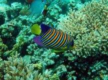 ψάρια αγγέλου βασιλοπρ&eps στοκ φωτογραφίες