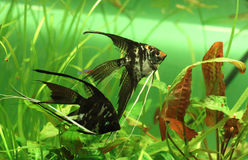 ψάρια αγγέλου Στοκ Φωτογραφίες